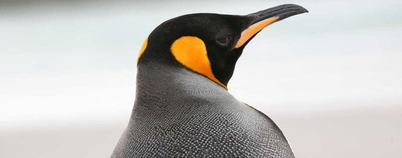 photo of a penguin up close