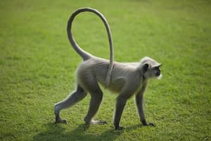 photo of a monkey with a very long tail to illustrate the concept of using long-tail keywords as an organic seo strategy